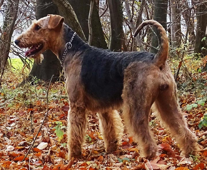 Airedale Terrier Welpenmutter 2019